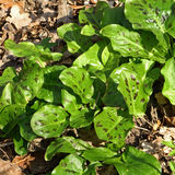 Jonge bladeren van maculatum van de Aronskelk in de vroege lente Royalty-vrije Stock Foto