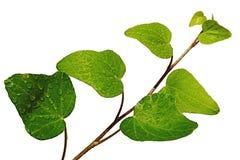 Jonge bladeren van natte installatie van de gemeenschappelijke Schroef van klimophedera op witte achtergrond, zichtbare dalingen  Stock Foto's