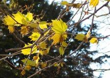 Jonge bladeren van Platanus Royalty-vrije Stock Afbeeldingen