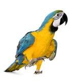 Jonge blauw-en-Gele Ara royalty-vrije stock afbeeldingen