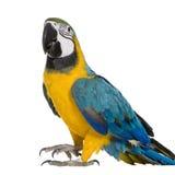 Jonge blauw-en-Gele Ara royalty-vrije stock foto