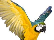 Jonge blauw-en-Gele Ara royalty-vrije stock fotografie