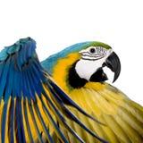 Jonge blauw-en-Gele Ara Royalty-vrije Stock Foto's
