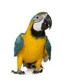 Jonge blauw-en-Gele Ara stock afbeelding