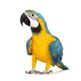 Jonge blauw-en-Gele Ara - ararauna van Aronskelken (8 maanden) Stock Fotografie