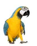 Jonge blauw-en-Gele Ara - ararauna van Aronskelken (mont 8 Royalty-vrije Stock Afbeeldingen