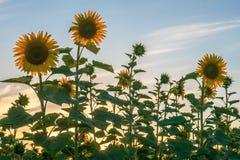 Jonge bloemen van zonnebloemen tegen de achtergrond van evenin royalty-vrije stock afbeeldingen
