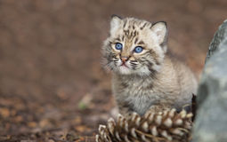 Jonge bobcat Stock Fotografie