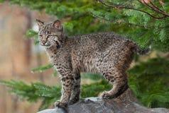Jonge Bobcat ((Lynxrufus) Uitdagende Tribunes Stock Afbeeldingen