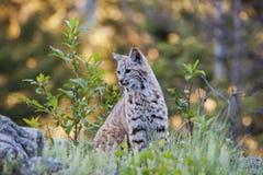 Jonge bobcat in westelijk bos Stock Fotografie