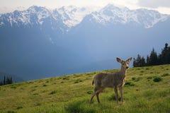 Jonge Bok en Mt. de Pieken van Olympus Royalty-vrije Stock Foto's