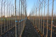 Jonge bomen in boomkwekerij Stock Afbeelding