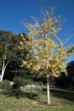 Jonge boom met gele de herfstbladeren royalty-vrije stock fotografie