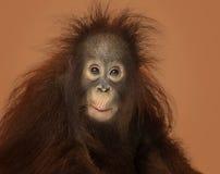Jonge Bornean-orangoetan die geïmponeerd, Pongo-pygmaeus kijken Stock Afbeeldingen