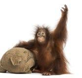 Jonge Bornean-orangoetan met zijn jute gevuld stuk speelgoed Royalty-vrije Stock Fotografie