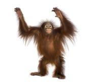 Jonge Bornean-orangoetan status, die Pongo-pygmaeus omhoog bereiken royalty-vrije stock foto's
