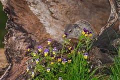 Jonge Bosmarmot (Marmota monax) achter Bloemen Stock Afbeeldingen