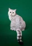 Jonge Britse kat Royalty-vrije Stock Afbeeldingen