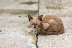 Jonge Bruine Cat Looking On The Floor stock afbeelding