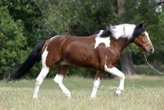 Jonge bruine en witte poney Royalty-vrije Stock Afbeelding