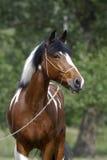 Jonge bruine en witte poney Stock Afbeelding