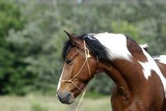 Jonge bruine en witte poney Royalty-vrije Stock Afbeeldingen