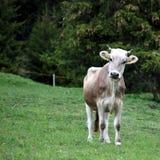 Jonge Bruine Koe stock afbeelding