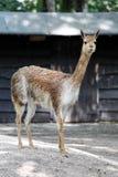 Jonge bruine lama Royalty-vrije Stock Fotografie