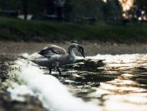 Jonge bruine zwaan op meer royalty-vrije stock foto