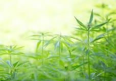 Jonge cannabisinstallaties stock fotografie