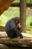 Jonge Chimpansee Stock Afbeelding