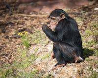 Jonge Chimpansee met Bloem Stock Afbeelding