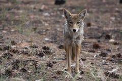 Jonge coyote Royalty-vrije Stock Afbeelding