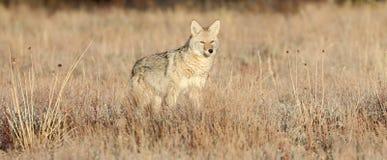 Jonge Coyote in Alsem Stock Afbeeldingen