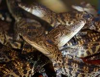 Jonge Crocs royalty-vrije stock afbeeldingen