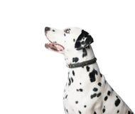 Jonge Dalmatische hond in leerkraag op witte achtergrond Royalty-vrije Stock Fotografie