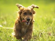 Jonge Daschund-puppyhond die op een gebied lopen. Royalty-vrije Stock Afbeeldingen