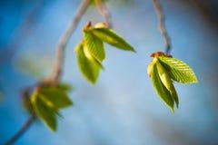 Jonge de lentebladeren Stock Fotografie