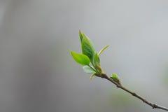 Jonge de lentebladeren royalty-vrije stock foto's