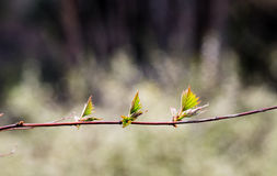 Jonge de lentebladeren Royalty-vrije Stock Foto