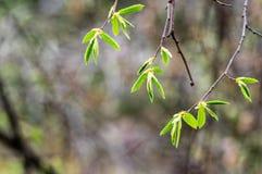 Jonge de lentebladeren Royalty-vrije Stock Afbeelding