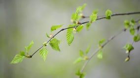 Jonge de lentebladeren op berkboom in de wind stock video