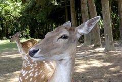 Jonge deers op een gebied Stock Foto