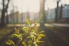 Jonge die bladeren door de zon als de lenteachtergrond worden verlicht royalty-vrije stock foto's