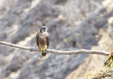 Jonge die Peregrine Falcon langs klippen wordt neergestreken royalty-vrije stock foto's