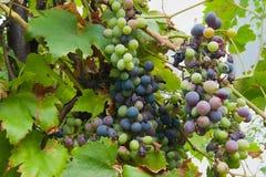 Jonge druiven die op een tak hangen Stock Foto