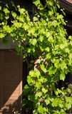 Jonge druivenbladeren Stock Foto