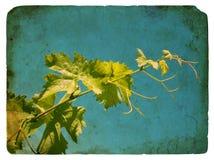 Jonge druivenbladeren. Oude prentbriefkaar. Stock Afbeelding