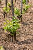 Jonge druiveninstallatie Royalty-vrije Stock Fotografie