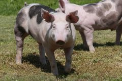 Jonge duroc rassenvarkens op de zomer van het landbouwbedrijfgebied royalty-vrije stock foto's